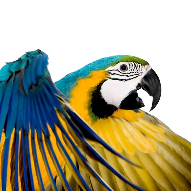 Arara azul e amarela jovem - ara ararauna (8 meses) isolada Foto Premium