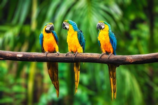 Arara azul e amarela na floresta Foto Premium
