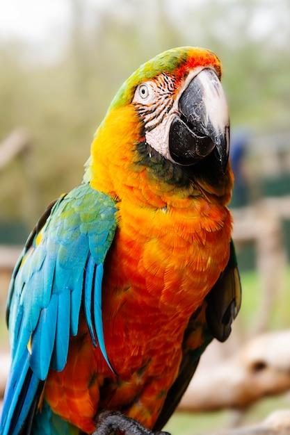 Arara papagaio em galhos, azul, amarelo, laranja papagaios coloridos no zoológico. Foto Premium