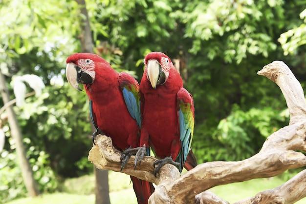 Arara vermelha linda (ara macao) sentado no galho Foto Premium