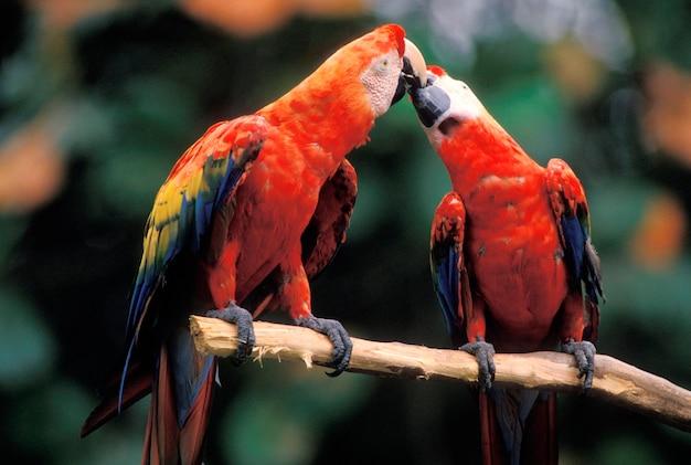 Araras tocando bicos Foto Premium