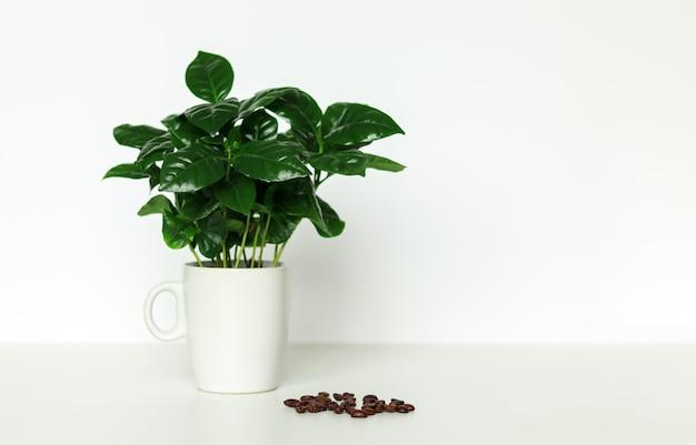 Arbusto de café arábica em vaso pequeno em copo Foto Premium