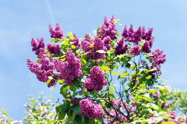 Arbusto em forma de coração de lilases florescendo Foto Premium