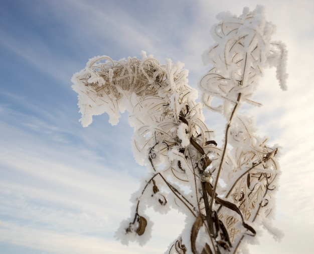 Arbusto ivan-chá seco na geada no fundo do céu Foto Premium