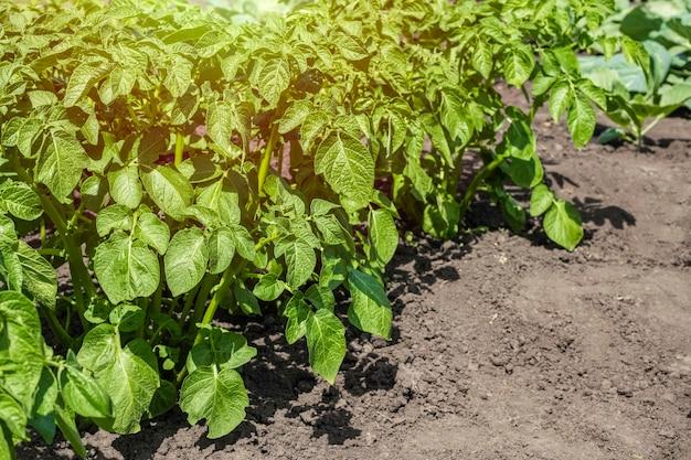 Arbustos de batata verde fresca no jardim em um dia ensolarado. Foto Premium