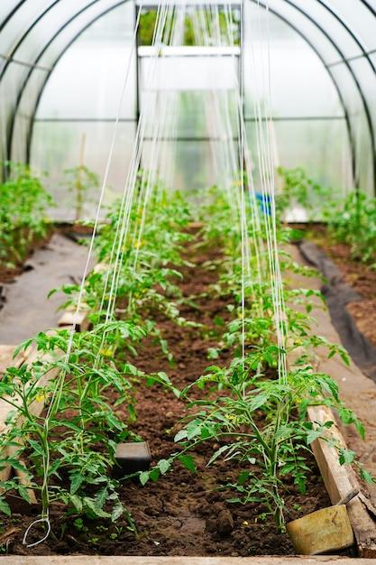 Arbustos de tomate na estufa, cuidados e apoio ao tomate, proteção contra intempéries Foto Premium