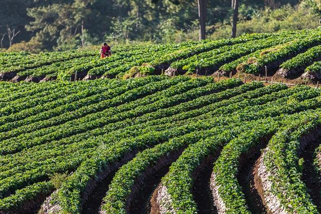 Área agrícola da terra da morango no doi chiang mai tailândia Foto Premium