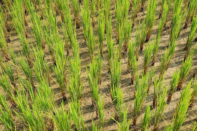 Arroz brota, arroz mudas, no campo de arroz. Foto Premium