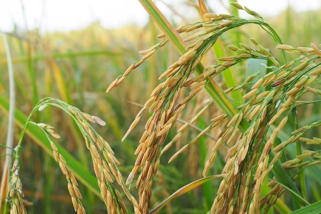 Arroz de arroz em ouro no campo Foto Premium