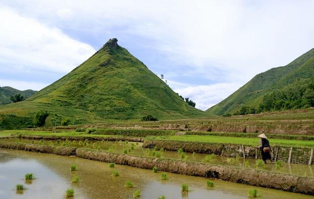 Arroz de montanha no vietnã Foto Premium