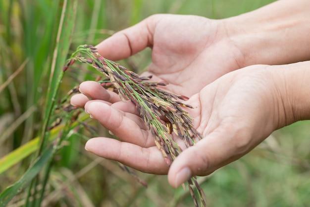 Arroz riceberry na mão Foto Premium