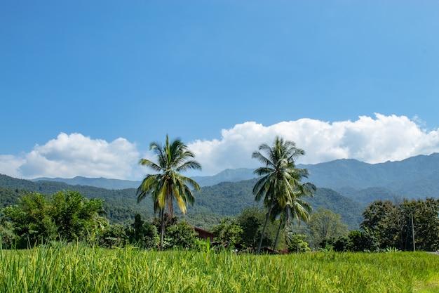 Arroz verde arrozais e é logo até a colheita de sementes fundo coqueiros e mo Foto Premium