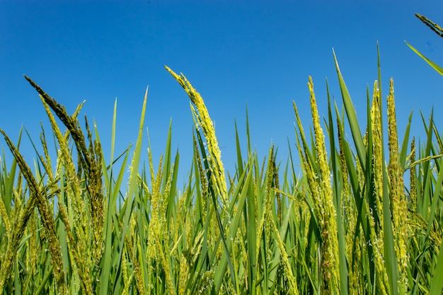 Arroz verde arrozais, e é logo até a colheita de sementes. Foto Premium