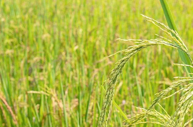 Arroz verde arrozais e é logo até a colheita de sementes. Foto Premium
