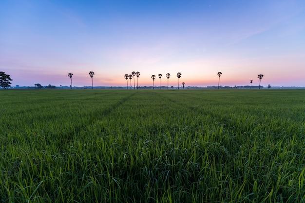 Arrozal com palmeiras e nascer do sol na província de phatthalung, tailândia Foto Premium