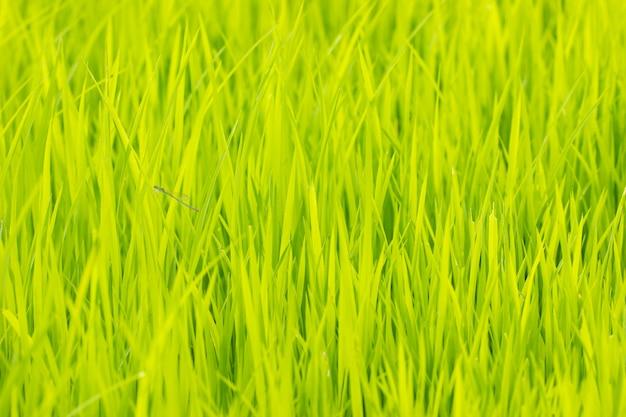 Árvore de arroz de bebê na fazenda orgânica à luz do dia. conceito de agricultura e agricultor. fundo Foto Premium