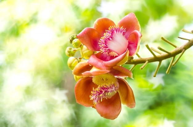 Árvore de bala de canhão de flores no jardim da tailândia Foto Premium