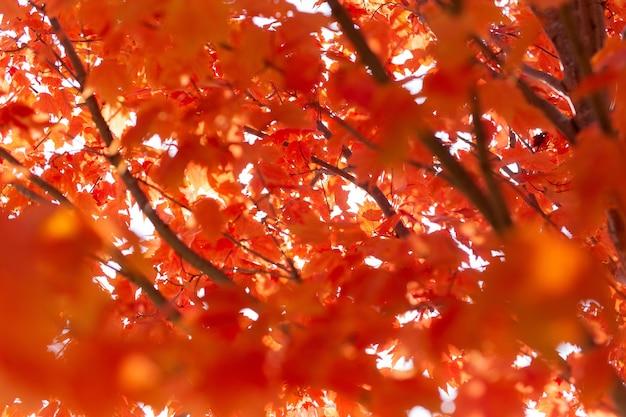 Árvore de bordo com folhas vermelhas sob a luz do sol durante o outono com um fundo desfocado Foto gratuita