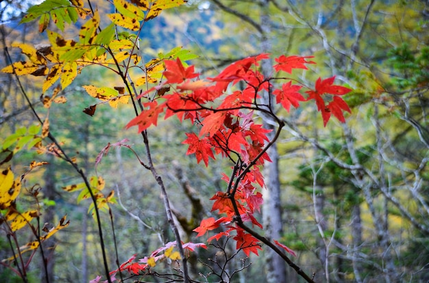 Árvore de bordo natural japonês na temporada de outono com mudança de cor de folhas Foto Premium