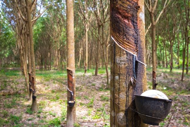 Árvore de borracha e tigela cheia de látex. Foto gratuita