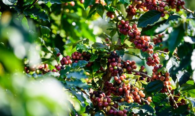 Árvore de café com grão de café na plantação de café Foto Premium