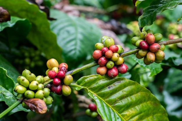 Árvore de café Foto Premium