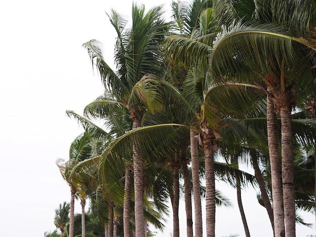 Árvore de coco tropical na praia. Foto Premium