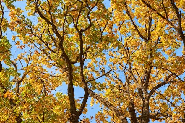Árvore de outono com folhas douradas no céu azul Foto Premium