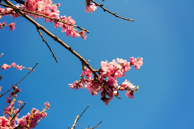 Árvore de primavera com flores no céu azul Foto Premium