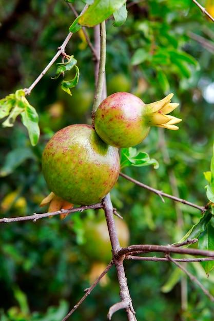 Árvore de romã com frutos maduros Foto Premium
