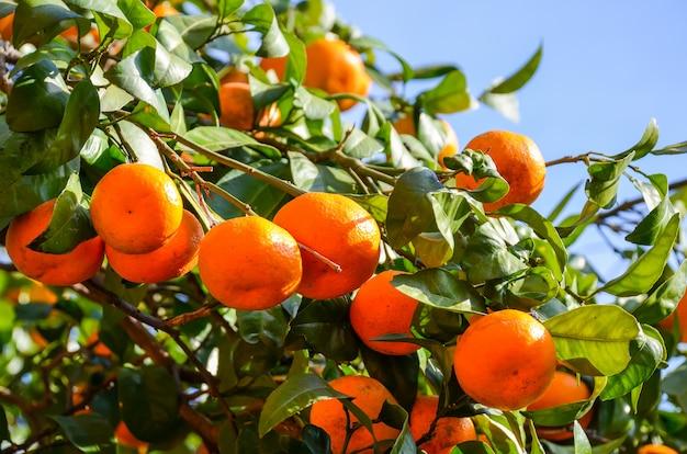 Árvore de tangerina em um jardim botânico. batumi, georgia. Foto Premium
