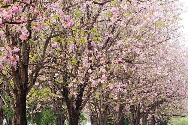 Árvore de trombeta-de-rosa (bertol), flor-de-rosa doce florescendo no jardim Foto Premium