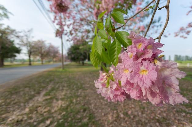 Árvore de trombeta-de-rosa (tabebuia rosea), uma flor de flor-de-rosa doce Foto Premium