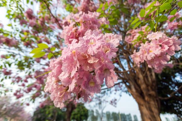 Árvore de trombeta-de-rosa, tabebuia rosea Foto Premium