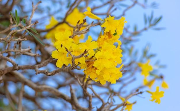 Árvore de trompete de prata, árvore de ouro, árvore de trombeta de prata paraguaia Foto Premium