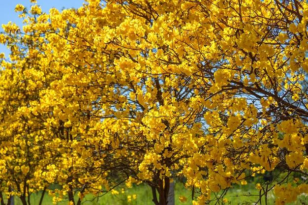 Árvore de trompete dourado no parque em azul Foto Premium