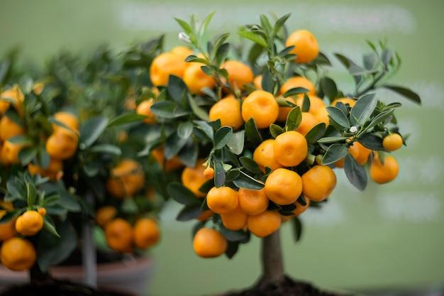 Árvore decorativa de tangerina coberta com frutas laranja Foto Premium