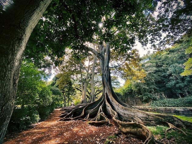 Árvore exótica com as raízes no chão no meio de uma bela floresta Foto gratuita