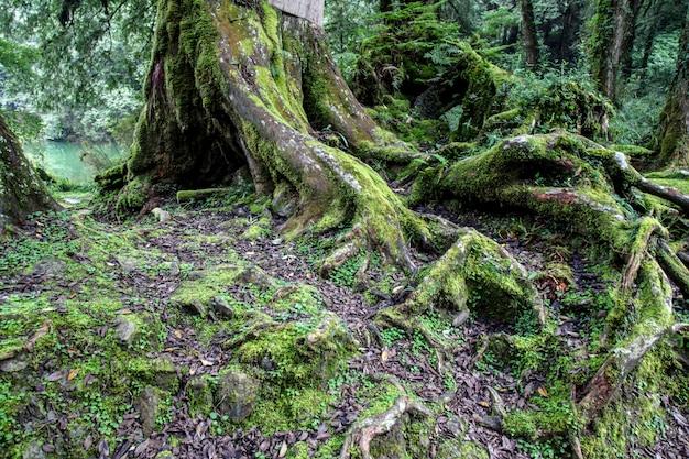 Árvore grande da raiz velha na área do parque nacional de alishan em taiwan. Foto Premium