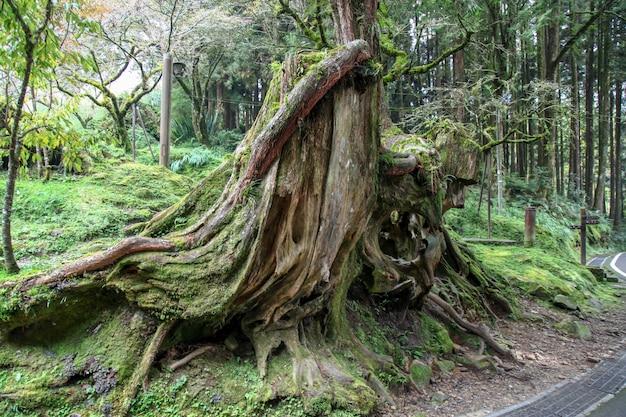 Árvore grande velha na área do parque nacional de alishan em taiwan. Foto Premium