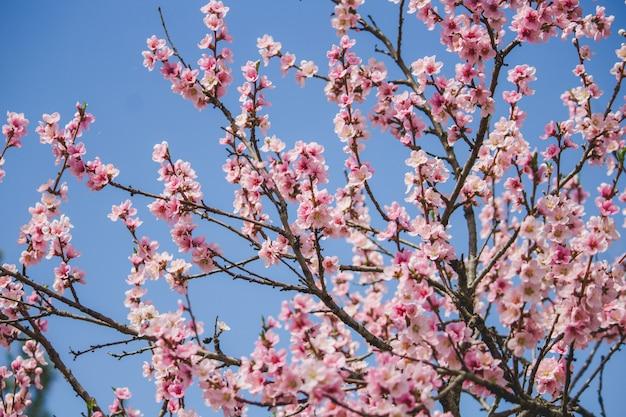 Árvore linda flor de cerejeira com azul natural Foto gratuita