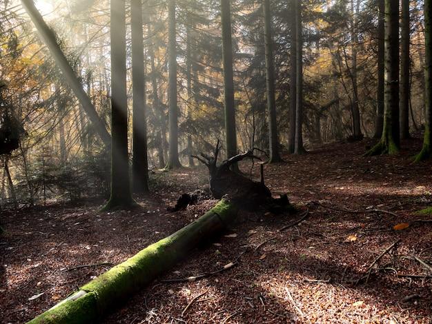 Árvore quebrada no chão em uma floresta com o sol brilhando através dos galhos Foto gratuita