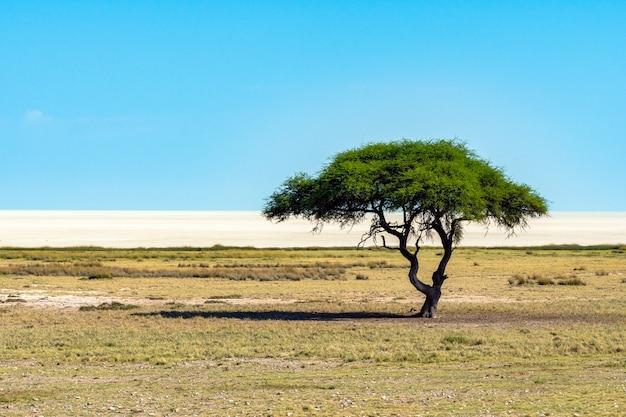 Árvore só da acácia (camelthorne) com fundo do céu azul no parque nacional de etosha, namíbia. áfrica do sul Foto gratuita