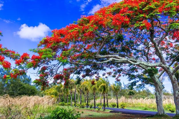 Árvore tropical exótica extravagante com flores vermelhas. ilha maurícia Foto Premium