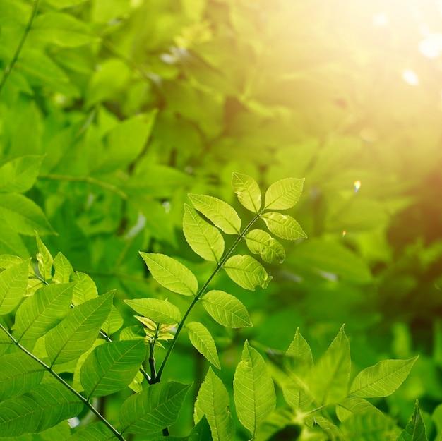 Árvore verde folhas e galhos na natureza Foto Premium