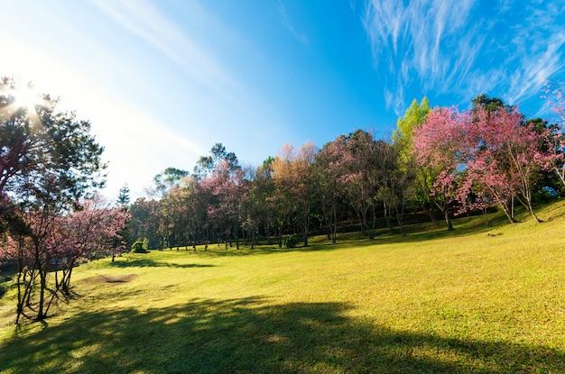 Árvores da flor de cerejeira no palácio de doi pha tang, chiangmai tailândia. Foto Premium