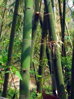 Árvores de bambu verde Foto gratuita