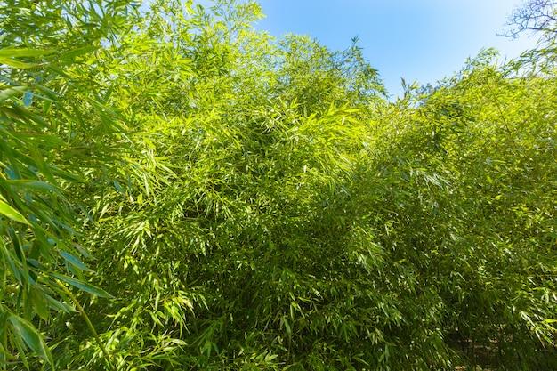 Árvores de bambu Foto Premium