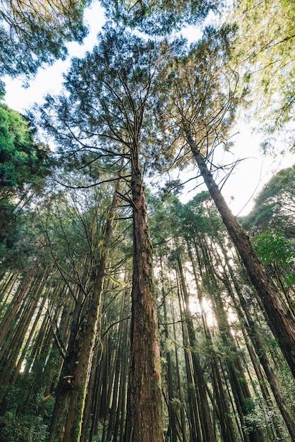 Árvores de cedro altas que olham de baixo na floresta na área de recreação da floresta nacional de alishan no condado de chiayi, distrito de alishan, taiwan. Foto Premium