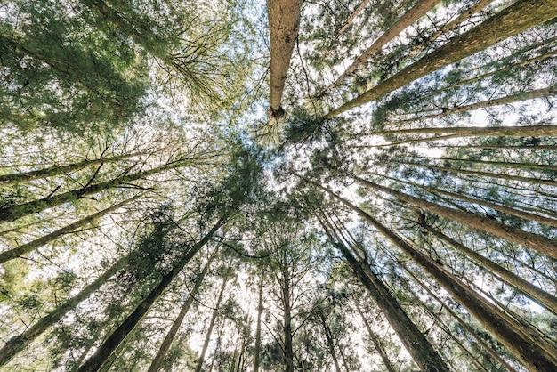Árvores de cedro japonês na floresta que vê de baixo em alishan. Foto Premium
